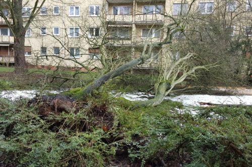 In der Dunantsiedlung wurde dieser Baum entwurzelt. Foto: Krüger